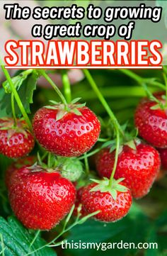 See our top tips for growing a great crop of strawberries, year after year! Strawberries are a great addition to the home landscape, and this perennial fruit plant will produce a crop for years to come. Strawberry Garden, Strawberry Plants, Fruit Plants, Fruit Garden, Edible Garden, Fruit Trees, Tomato Garden, Vegetable Garden Planning, Vegetable Garden Design
