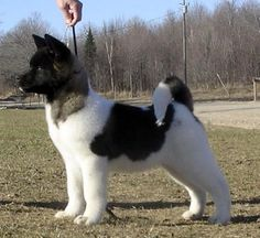 akita pictures | Photo by D'Poble Kennel 's Akita's