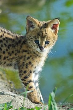 Other pinner says. leopard kitten.  I think this is a serval kitten. Look at the distance from the eyes to the top of the head, and the partially black nose. I could not track down the photographer name or notes, but I'm pretty sure.