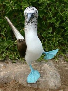 Blue footed Booby bird.