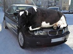 You know it's going to be a bad day when you wake up with a killer hangover and a cow on your hood.