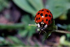 Most people know what ladybugs look like, but can YOU tell the difference between a ladybug and an Asian lady beetle? She's A Lady, Lady In Red, San Antonio, Colors Of Fire, Peach Blossoms, Summer Garden, Baby Animals, Animal Babies, Day Trips