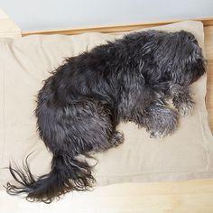 Pera doesn't want to get out of her PF lazy bed #pattifurry #köpekyatağı #minikpatiler #dog #hund #oslo #grünerløkka