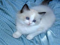 gato siames siamese cat katt siamesische Katze gatto siamese gato siamés Сиамская кошка σιαμαίοι γάτα chat siamois