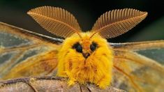 """Other cute moth species that have been mislabeled online as """"poodle moths"""" include the squeaking moth (Rhodinia fugax) and the rosy maple moth (Dryocampa . Cool Insects, Bugs And Insects, Beautiful Bugs, Beautiful Butterflies, Bing Wallpaper, Computer Wallpaper, Desktop Wallpapers, Venezuelan Poodle Moth, Silkworm Moth"""