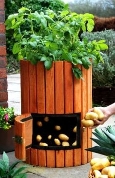 Grow your own.Think a veg patch is beyond the scope of your small garden? With container gardening you could even collect a regular potato crop. This wooden potato barrel is suitable for up to four plants, and the swing door at the front means you can har Outdoor Projects, Garden Projects, Diy Projects, Container Gardening, Gardening Tips, Dream Garden, Lawn And Garden, Garden Inspiration, Garden Landscaping