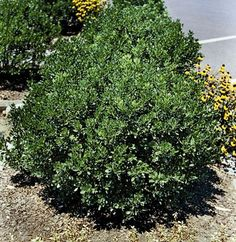 Compact Inkberry Holly | black berries, to replace the ruby loropetalum?