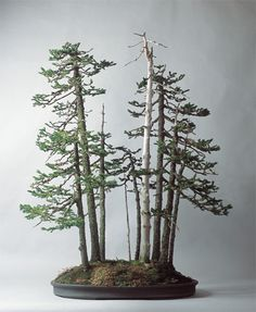 Bonsai trees showing diversity of perceived age. I wonder how old they really are...70 years or more?