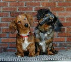 Doxies by cora