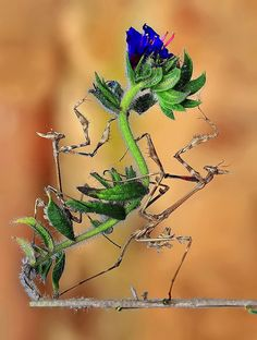 Mantis, Concerto for Two by Bach