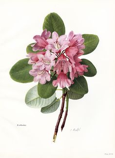 Rhododendron orbiculare botanical print - ed of B. Leslie Urquhart's The Rhododendron, Illustration Botanique, Illustration Blume, Vintage Botanical Prints, Botanical Drawings, Botanical Flowers, Botanical Art, Art Floral, Floral Illustrations, Vintage Flowers