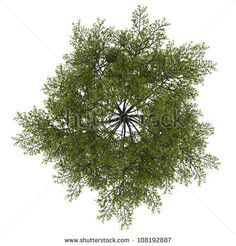 Stock Images similar to ID 109888955 - top view of umbrella tree...