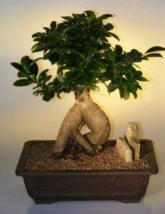 Click Image Above To Buy: Ginseng Ficus Bonsai Tree - Extra Large (ficus Retusa) Large Bonsai Tree, Ficus Bonsai Tree, Bonsai Trees For Sale, Bonsai Tree Types, Bonsai Tree Care, Bonsai Soil, Indoor Bonsai Tree, Bonsai Plants, Planting Plants