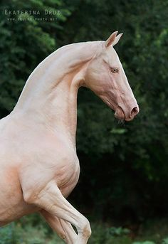 The rare and beautiful Akhal-Teke horse. Looks like a sculpture. The rare and beautiful Akhal-Teke horse. Looks like a sculpture. - Art Of Equitation Most Beautiful Horses, Pretty Horses, Horse Love, Animals Beautiful, Horse Photos, Horse Pictures, Akhal Teke Horses, Andalusian Horse, Friesian Horse