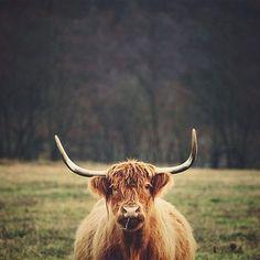 .@corabell99 (Cora Edwards) 's Instagram photos #highlander #highlandcow #cow