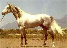 The Tersk Horse,   This attractive Russian horse originates from the northern Caucasus and was based on Strelets horses, produced by crossing Arabs with quality Orlovs and Anglo-arabs. It is a modern breed, very similar in appearance to the Arab but taller. Origin: Northern Caucasus.