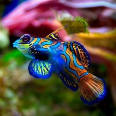 Mandarin gobie. So cool but can be tricky to keep. Awesome in reefs fed with brine.