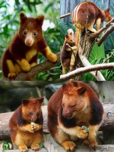 find this pin and more on a mob of kangaroos collection of tree kangaroos