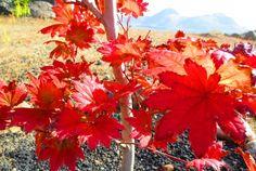 まっかな秋  我が家唯一の木。 近頃の急激な寒さで綺麗な赤に染まった。  で、 覚えてるかな、この歌。  よく妹とハモったっけ。  二人ともパートが同じだったから、歌いだすと必ずアルトでダブる。 ここはどっちかソプラノじゃないと!  あぁ懐かしい〜。 だけどやっぱり脳裏に浮かぶのは アルトのメロディー。 一人アルトはつまらな〜い