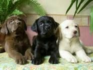 Labs come in 3 different colors: brown, black and yellow.