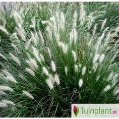 Lampenpoetsersgras (Pennisetum alopecuroides 'Little Bunny')
