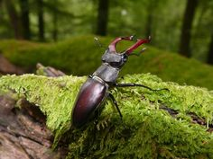 Stag beetle (Lucanus cervus) in beech forest in the Spessart Mountains. It lives in holes in old trees and dead trunks. Forest management, in eliminating old trees and dead wood, eliminates at the same time the habitat and food of this species. Once quite common, the population of the Lucanus cervus  is in steep decline, and is now listed as a globally threatened species.  Photographer: Michael Kunkel / Greenpeace