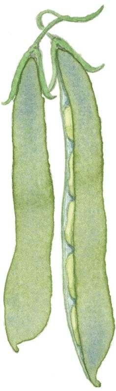 Fava bean pods by our illustrator Carol Kearns Bean Pods, Fava Beans, Botanical Illustration, Cocoa, Arts And Crafts, Illustrator, Tattoo, Collars, Board