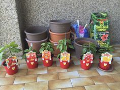 plants ready for transplant Red andOrange yellow Scorpion Red andYellow Naga Morich, Chilli Plant, Scorpion, Trinidad, Planter Pots, Yellow, Red, Scorpio, Rouge