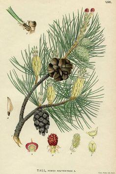 Pinus silvestris, the Scots pine: