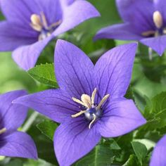 Balloon Flower Sentimental Blue, Platycodon grandiflorus - Spring Perennials from American Meadows