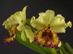 Orquideas Colombianas.