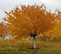 Similiar Cherry Fall Color Keywords