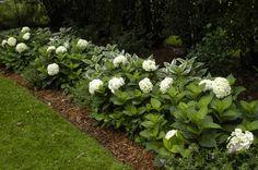 Blushing Bride Hydrangeas sit beside variegated Hostas in this lovely shady garden path. White Hydrangeas in a Hedge Border Garden. Landscape Borders, Garden Borders, Garden Paths, Landscape Design, Garden Design, Hydrangea Landscaping, Outdoor Landscaping, Front Yard Landscaping, Outdoor Gardens
