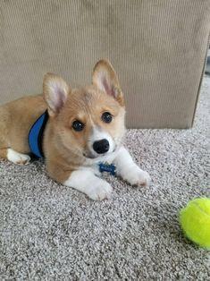 Rocco loves his tennis ballhttps://imgur.com/iK3fcx6