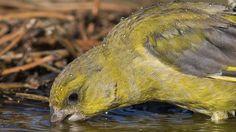 Nosoloaves - Aves del mundo (Birds of the world): Verderon comun (Chloris chloris)