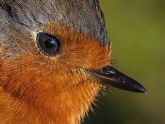 Robin Photos, Robin Redbreast, Gods Creation, World Of Color, Robins, Flower Photos, Bird Art, Bird Feathers, Birds