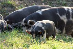 Howling Hill Farm Idaho Pasture Pigs in early fall.