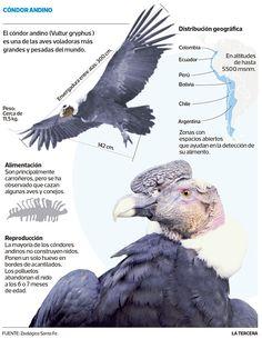 El cóndor andino Nature Animals, Animals And Pets, Andean Condor, Inca, Big Bird, Bird Pictures, Animal Skulls, Birds Of Prey, Pet Birds