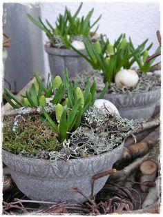 Hyacinth Easter planter