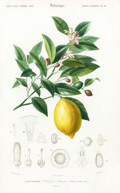 lemon botanic print: (when life gives you lemons, suck 'em up!)