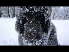 Newfoundland Puppy playing in the snow for the first time. 6 Months old. The deep snow scenes were shot with the NEX-5 camera.