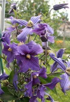 Klematis Greenery, Plants, Gardens, Outdoor Gardens, Plant, Garden, House Gardens, Planets