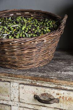 Olive gathering