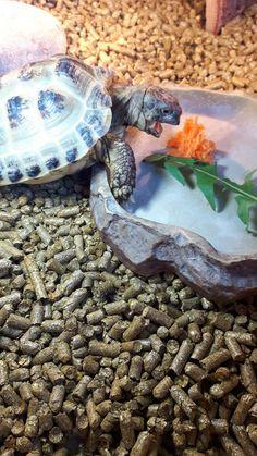 Verne - Horse field tortoise
