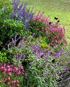Pink Autumn Sage (Salvia greggii 'Pink'), Indigo Spires Sage (Salvia 'Indigo Spires', upper left), and Mexican Bush Sage (Salvia leucantha, lower right)