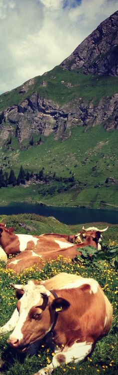 Here's to Swiss Milk from Swiss Cows which of course is used to make Swiss Chocolate! #SwissBiscuits #Holidays
