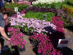Dianthus and Osteospermum at the Knox Nursery booth