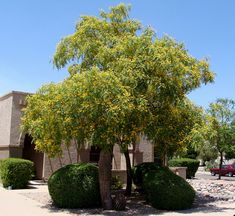 Native to South America, the Tipuana tipu is becoming a favorite for our customers due to its huge umbrella-like canopy of shade, minimal water requirements and ability to thrive in the desert heat by being drought tolerant. These trees are fast growing and can reach massive heights of 25 feet in just a few years. It requires little maintenance and does extremely well in many soil and drought-like conditions. In late spring, the tree puts on a unique show of golden blooms over the entire…