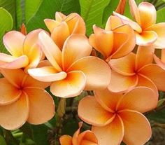 "PLUMERIA'S CUTTING WITH ROOTED 7-12 INCHES ""JEFFY ALLIGHT"" WITH CERTIFICATION AND REGISTERED TRACK ONLINE"