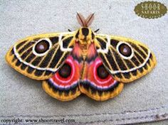 Zaddachi's Emperor moth (Bunaeopsis zaddachii) from Kenya. Flying Insects, Bugs And Insects, Beautiful Bugs, Beautiful Butterflies, Colorful Moths, Emperor Moth, Mantis Religiosa, Bull Elephant, Cool Bugs